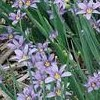 Sisyrinchium graminoides (Blue-eyed grass)