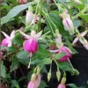 Fuchsia 'Christmas Cheer' (Fuchsia 'Christmas Cheer')