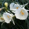 Narcissus cantabricus subsp. cantabricus var. cantabricus (White hoop petticoat daffodil)