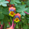 Tropaeolum tricolor  (Three-coloured Indian cress)