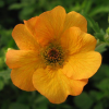 Geum 'Totally Tangerine' (Avens 'Totally Tangerine')