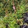 Persicaria vacciniifolia (Rock knotweed)