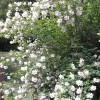 Philadelphus 'Manteau d'Hermine' (Mock orange 'Manteau d'Hermine')