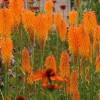 Kniphofia 'Mango Popsicle' (Popsicle Series) (Red hot poker 'Mango Popsicle')