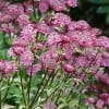 Astrantia major 'Gill Richardson' (Masterwort 'Gill Richardson')