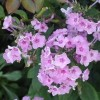 Phlox paniculata 'Bright Eyes' (Perennial phlox 'Bright Eyes')
