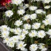 Delosperma 'Jewel of Desert Peridot' (Jewel of Desert Series) (Ice Plant 'Jewel of Desert Peridot')