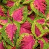 Solenostemon 'Watermelon' (Coleus 'Watermelon')
