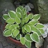 Hosta 'Lakeside Ninita' (Plantain lily 'Lakeside Ninita')