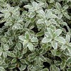 Pittosporum tenuifolium 'Marjory Channon' (Pittosporum 'Marjory Channon')