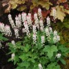 Tiarella wherryi 'Bronze Beauty' (Wherry's foam flower 'Bronze Beauty')