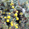 Berberis x stenophylla 'Lemon Queen'