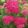 Achillea 'Saucy Seduction' (Yarrow 'Saucy Seduction')