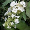 Hydrangea quercifolia 'Ice Crystal' (Oak-leaved hydrangea 'Ice Crystal')