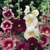 Alcea rosea Summer Carnival Group (Hollyhock Summer Carnival Group)