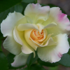 Rosa 'Easter Basket' (Rose 'Easter Basket')