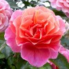 Rosa 'Mia-Lucy Rose' (Rose 'Mia-Lucy Rose')