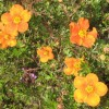 Potentilla fruticosa 'Hopleys Orange' (Shrubby cinquefoil 'Hopley's Orange')