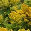 Solidago 'Queenie'