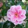 Camellia japonica 'Yours Truly' (Camellia 'Yours Truly')