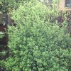 Pittosporum tenuifolium 'Golf Ball' (Pittosporum 'Golf Ball')