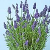 Lavandula angustifolia 'L'Avance Purple' (English lavender 'L'Avance Purple')