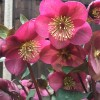Helleborus (Rodney Davey Marbled Group) 'Anna's Red' (Lenten rose 'Anna's Red')