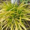 Carex oshimensis 'Everillo' (Sedge 'Everillo')