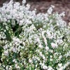 Erica carnea 'Springwood White' (Heather 'Springwood White')