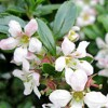 Escallonia 'Apple Blossom' (Escallonia 'Apple Blossom')
