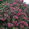 Escallonia 'Donard Radiance' (Escallonia 'Donard Radiance')