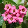 Escallonia 'Donard Seedling' (Escallonia 'Donard Seedling')