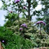Verbena bonariensis (Purple top)