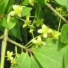 Euonymus alatus (Winged spindle tree)