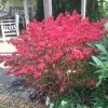 Euonymus alatus 'Compactus' (Compact winged spindle tree)