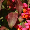 Euonymus europaeus 'Red Cascade' (Spindle 'Red Cascade')