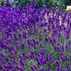Lavandula angustifolia 'Dwarf Blue' (English lavender 'Dwarf Blue')