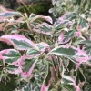 Euonymus fortunei 'Silver Queen' (Spindle 'Silver Queen')
