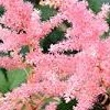 Astilbe 'Beauty of Lisse' (x arendsii)