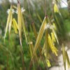 Stipa gigantea (Golden oats)