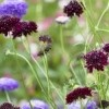 Scabiosa atropurpurea (Pincushion flower)