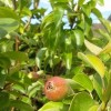 Pyrus communis 'Conference' (Pear 'Conference')