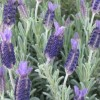 Lavandula (any variety) (Lavender (any variety))