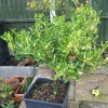 Euonymus (any evergreen variety) (Spindle (any evergreen variety))