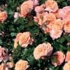 Rosa (any Ground-cover variety) (Rose (any Ground-cover variety))
