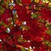 Acer palmatum (any variety) (Japanese maple (any variety))