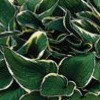 Hosta (any variety) (Plantain lily (any variety))