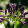 Agapanthus (any variety) (African lily (any variety))