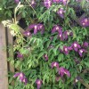 Clematis (any Early, Large-flowered, Group 2 variety) (Clematis (any Early, Large-flowered,