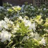 Rhododendron (any hardy, evergreen variety) (Rhododendron (any hardy, evergreen variety))
